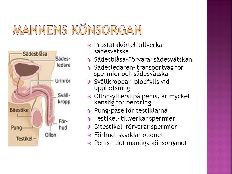  Prostatakörtel-tillverkar sädesvätska.  Sädesblåsa-Förvarar sädesvätskan  Sädesledaren- transportväg för spermier och sädesvätska  Svällkroppar-