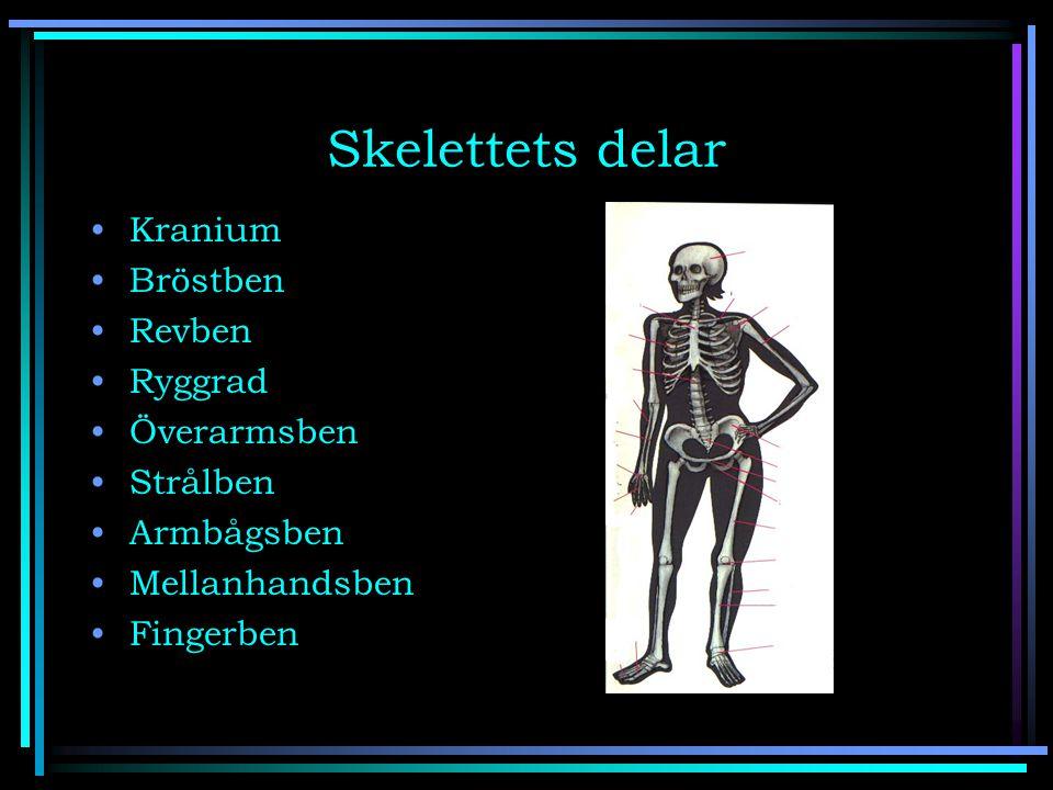 Skelettets delar Kranium Bröstben Revben Ryggrad Överarmsben Strålben Armbågsben Mellanhandsben Fingerben