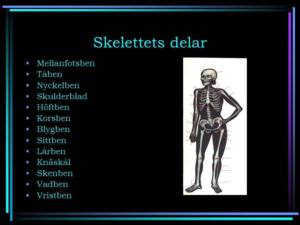 Skelettets delar Mellanfotsben Tåben Nyckelben Skulderblad Höftben Korsben Blygben Sittben Lårben Knäskål Skenben Vadben Vristben
