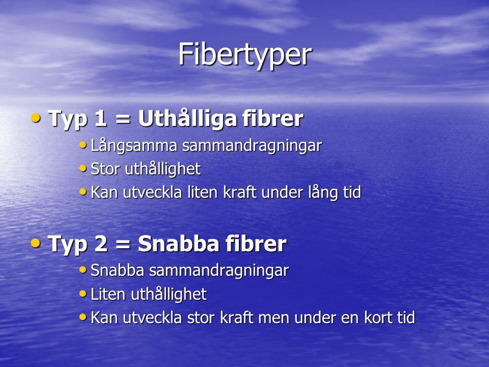 Fibertyper Typ 1 = Uthålliga fibrer Typ 1 = Uthålliga fibrer Långsamma sammandragningar Långsamma sammandragningar Stor uthållighet Stor uthållighet K