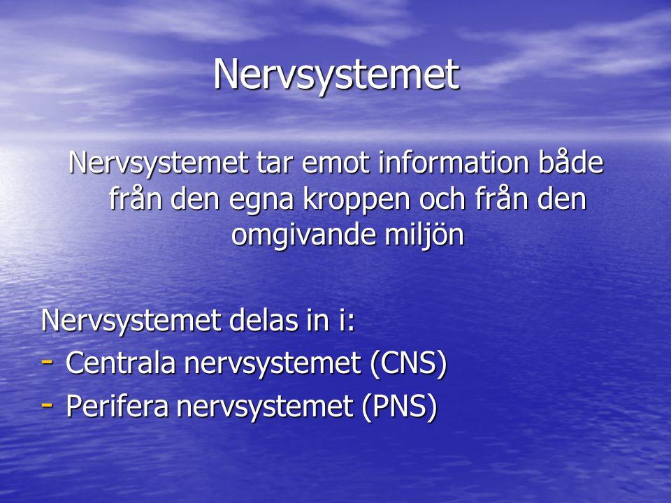 Nervsystemet Nervsystemet tar emot information både från den egna kroppen och från den omgivande miljön Nervsystemet delas in i: - Centrala nervsystem