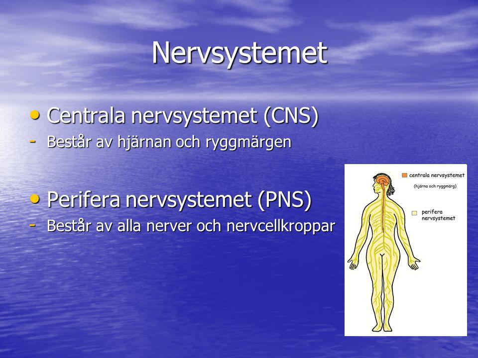 Nervsystemet Centrala nervsystemet (CNS) Centrala nervsystemet (CNS) - Består av hjärnan och ryggmärgen Perifera nervsystemet (PNS) Perifera nervsyste