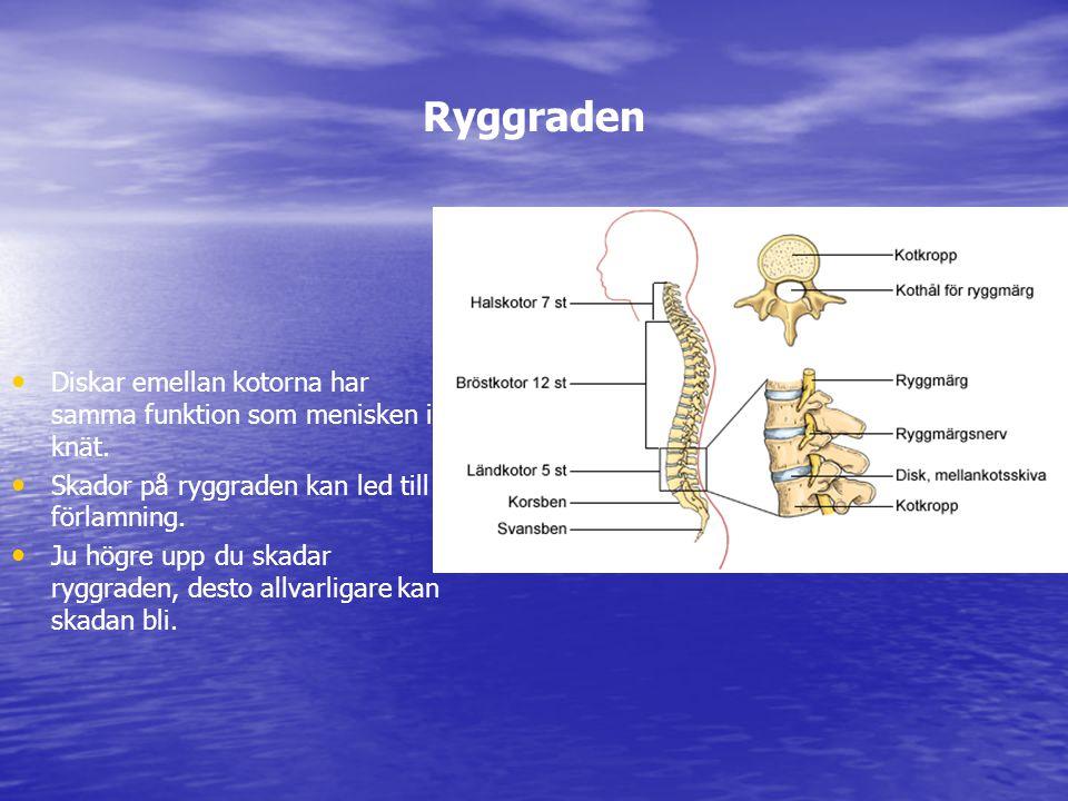 Ryggraden Diskar emellan kotorna har samma funktion som menisken i knät. Skador på ryggraden kan led till förlamning. Ju högre upp du skadar ryggraden