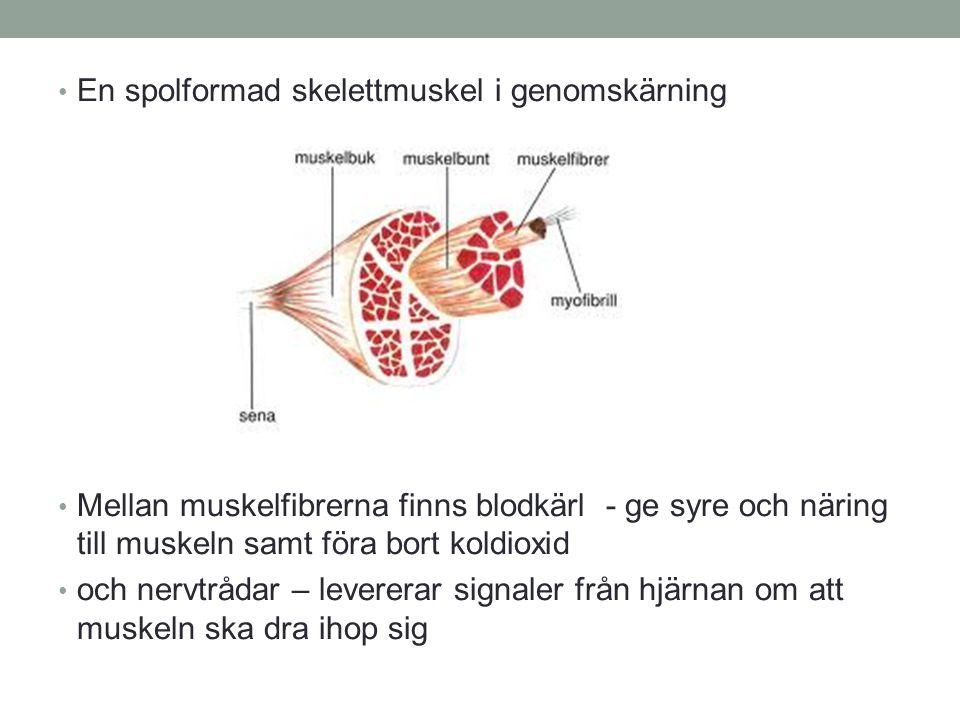 En spolformad skelettmuskel i genomskärning Mellan muskelfibrerna finns blodkärl - ge syre och näring till muskeln samt föra bort koldioxid och nervtr