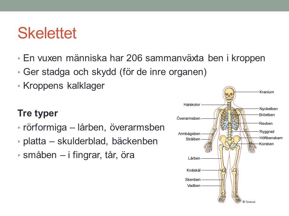 Skelettet En vuxen människa har 206 sammanväxta ben i kroppen Ger stadga och skydd (för de inre organen) Kroppens kalklager Tre typer rörformiga – lår