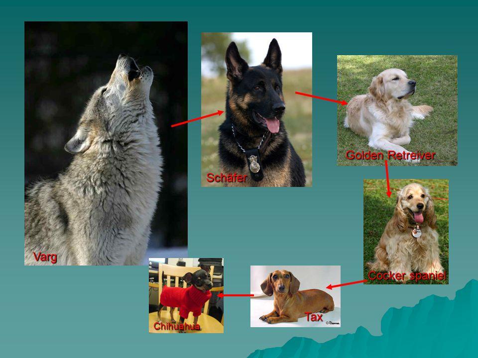 Hundar har också utvecklats av människan – de finns inte i naturen.