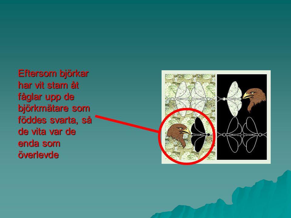 2. Björkmätaren – ett nutida exempel på naturligt urval  Björkmätaren är en sorts fjäril som finns i två utseenden: mörk eller ljus.