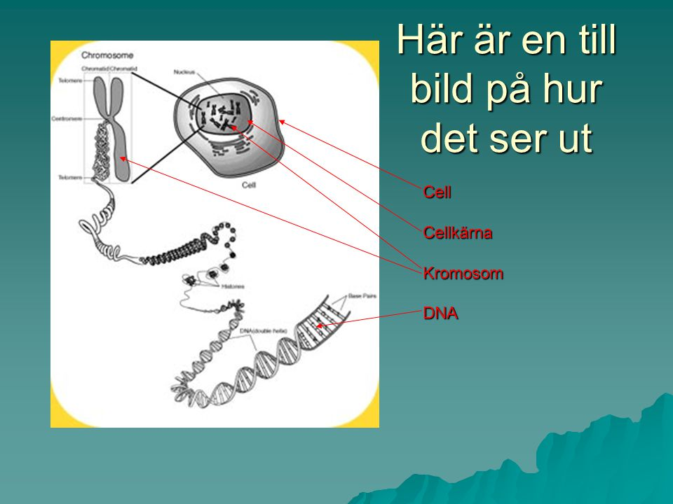 Kromosomerna i sin tur består av ännu mindre delar. En lång hopvecklad spiral som kallas DNA