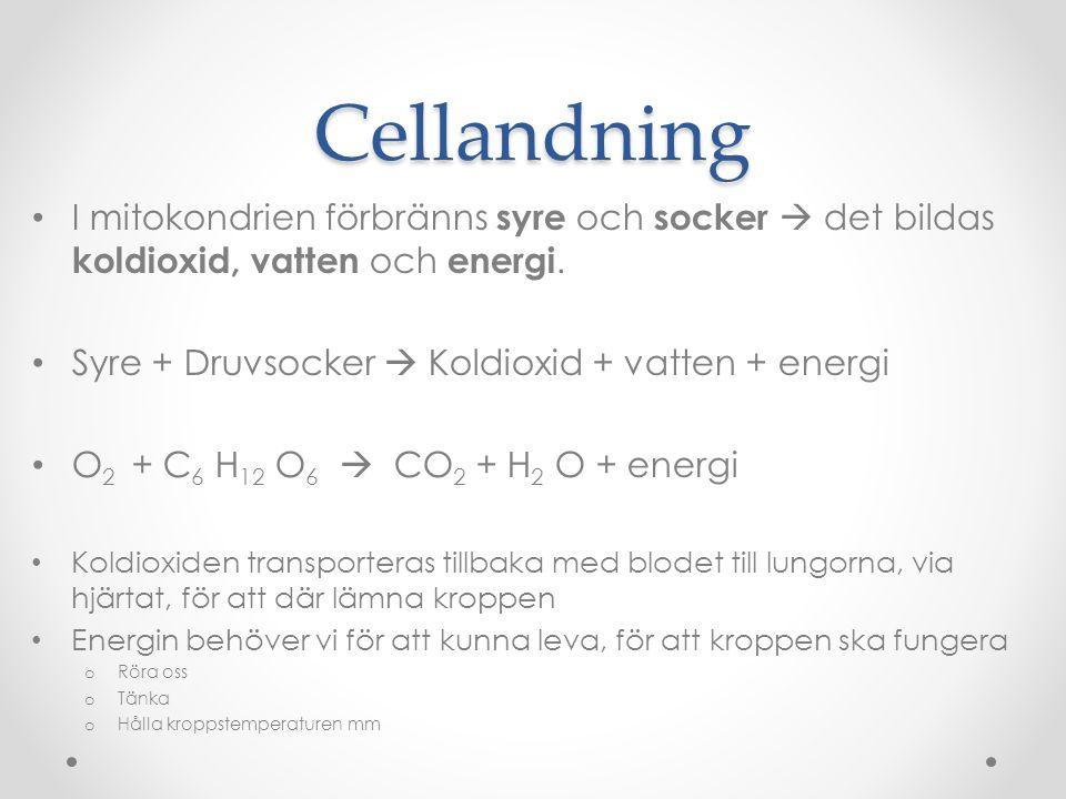 Cellandning I mitokondrien förbränns syre och socker  det bildas koldioxid, vatten och energi. Syre + Druvsocker  Koldioxid + vatten + energi O 2 +