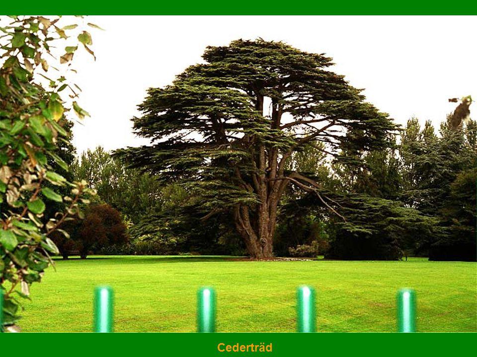 Cederträd