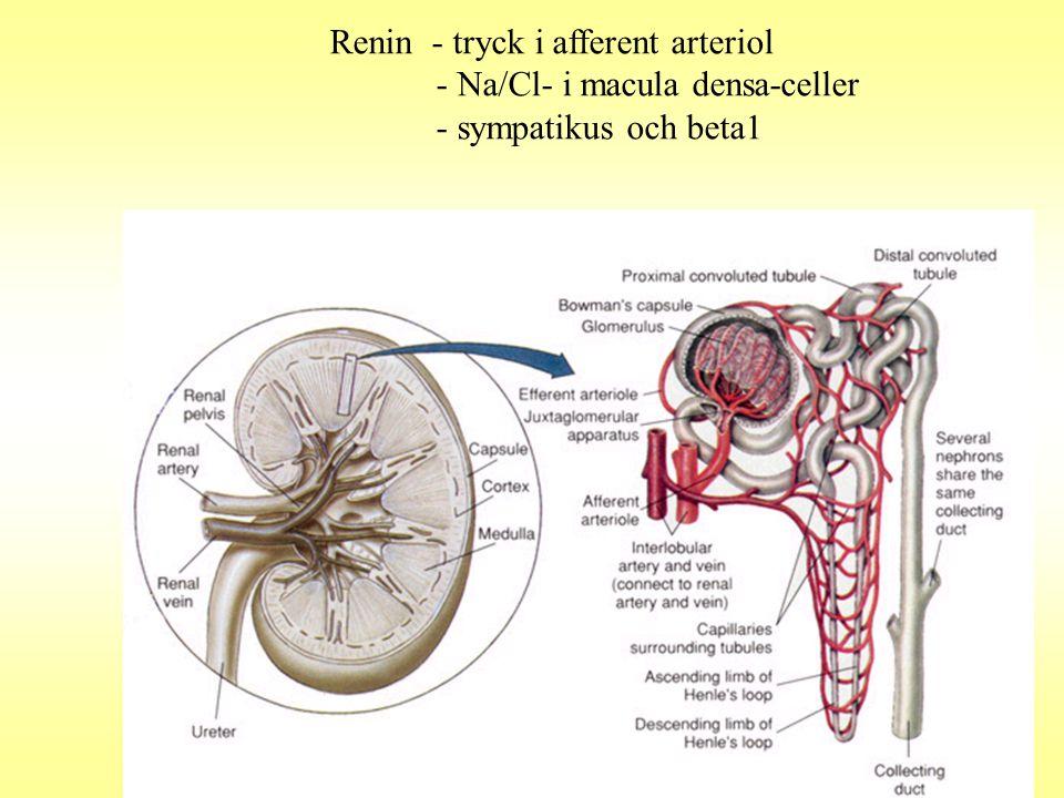 Renin - tryck i afferent arteriol - Na/Cl- i macula densa-celler - sympatikus och beta1