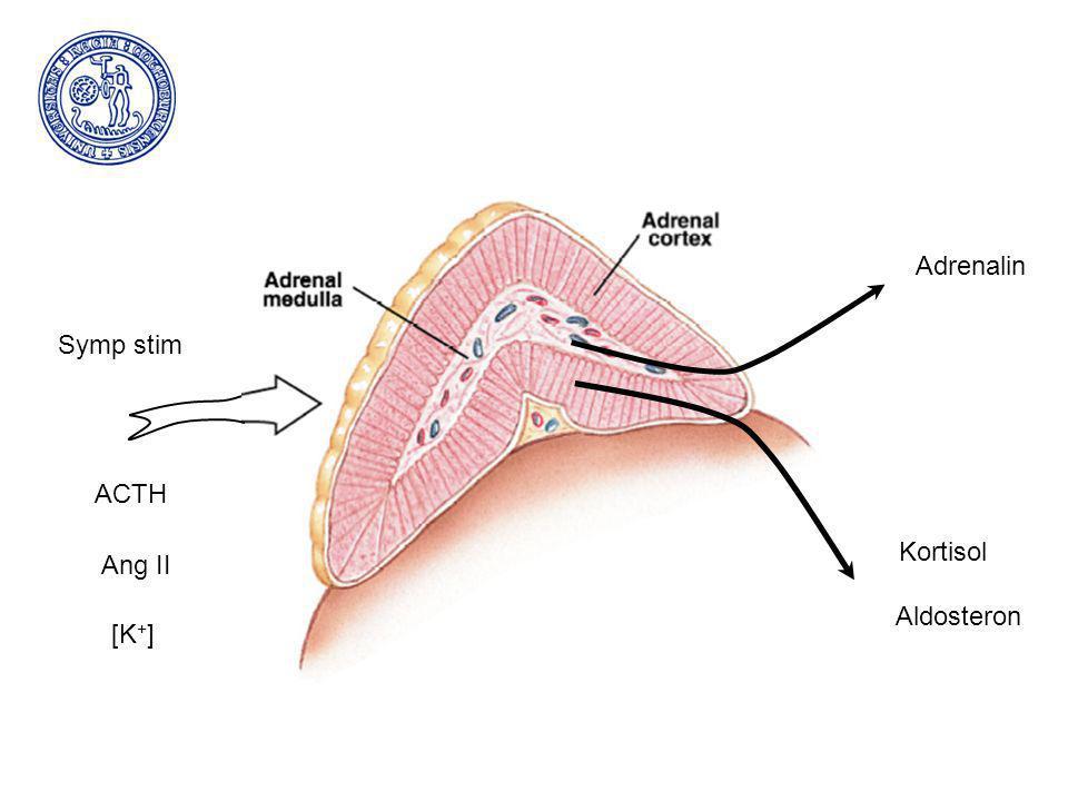 ACTH Symp stim Ang II [K + ] Adrenalin Kortisol Aldosteron
