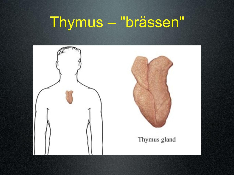 Thymus –