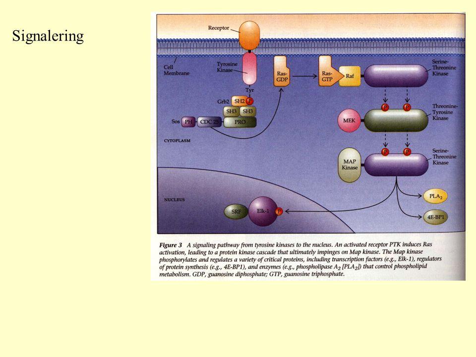 HIF-1  HIF-1  HIF-1  Proline Hydroxylase HIF-1  Hypoxia HIF-1  HIF-1  VEGF HIF-1  Ub VHL E3 Ligase Los of function mutation Clear-cell renal carcinoma vascularization Loss of function: mutation of VHL E3 Ligase