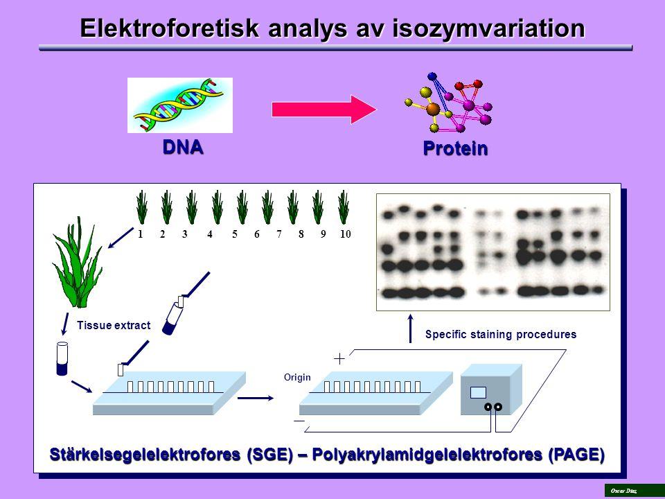 Oscar Díaz Elektroforetisk analys av isozymvariation DNA Protein Tissue extract Specific staining procedures Origin 1 2 3 4 5 6 7 8 9 10 Stärkelsegelelektrofores (SGE) – Polyakrylamidgelelektrofores (PAGE)