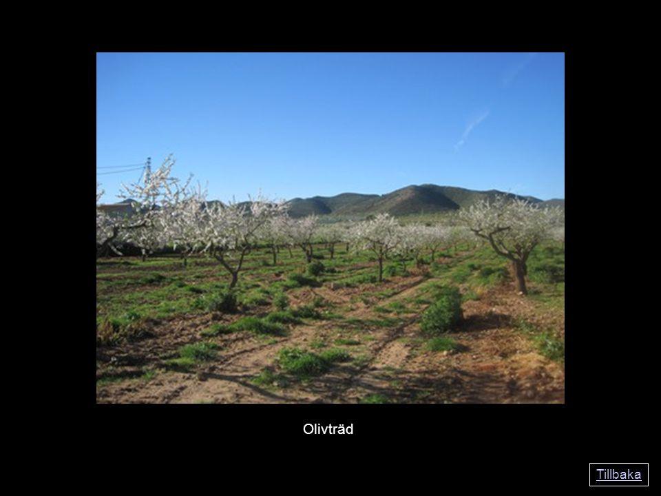 Tillbaka Olivträd