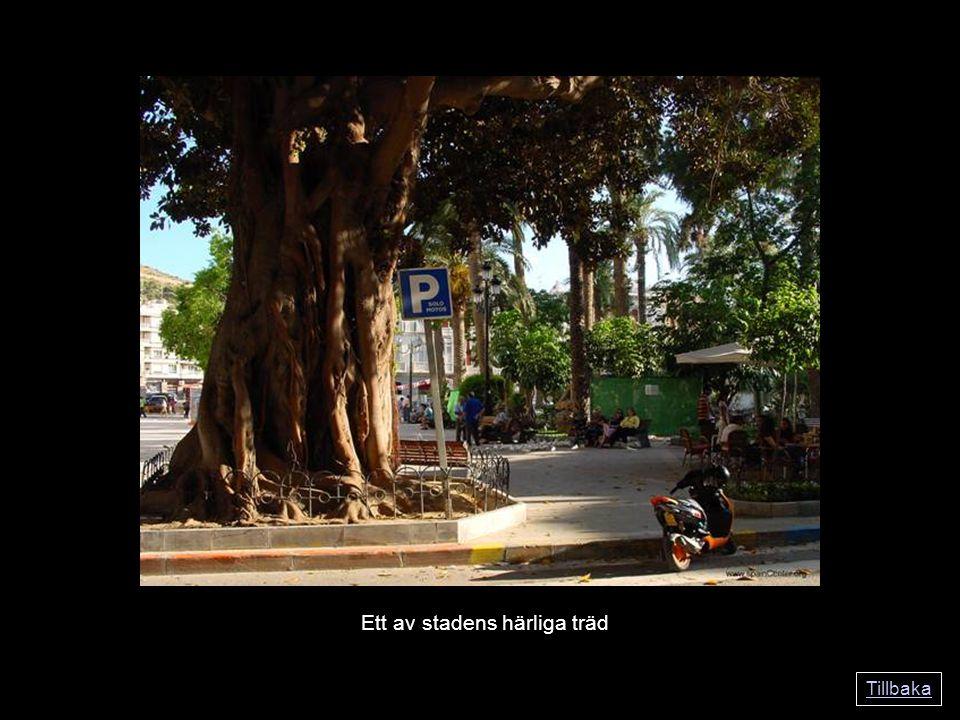 Tillbaka Ett av stadens härliga träd