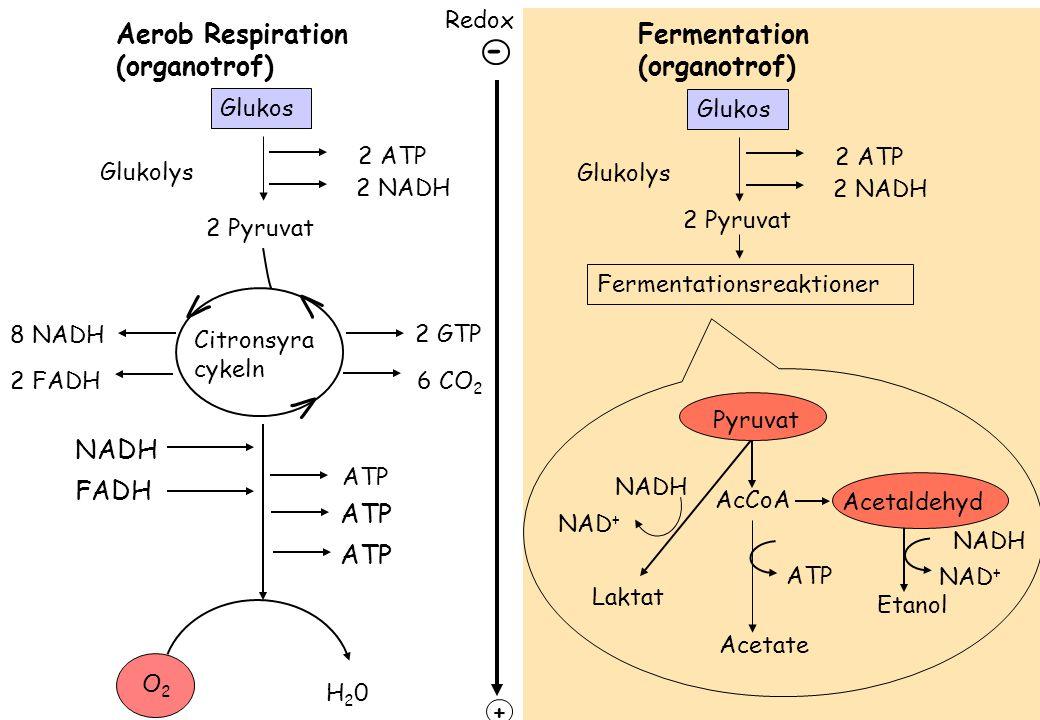 Aerob Respiration (organotrof) H20H20 Fermentation (organotrof) ATP 8 NADH 2 GTP 6 CO 2 Glukos 2 ATP 2 NADH Glukolys 2 Pyruvat Citronsyra cykeln V V V 2 FADH O2O2 NADH FADH ATP Fermentationsreaktioner Pyruvat AcCoA Laktat Acetate Etanol Acetaldehyd NADH NAD + NADH NAD + ATP Redox + Glukos 2 ATP 2 NADH Glukolys 2 Pyruvat -
