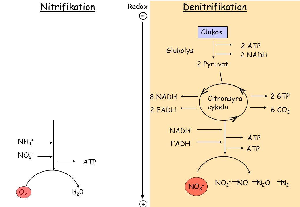 Redox + Glukos 2 ATP 2 NADH Glukolys 2 Pyruvat 2 GTP 6 CO 2 Citronsyra cykeln V V V 8 NADH 2 FADH ATP NADH FADH ATP NO 3 - NO 2 - NO N 2 O N 2 - O2O2 NH 4 + H20H20 ATP DenitrifikationNitrifikation NO 2 -
