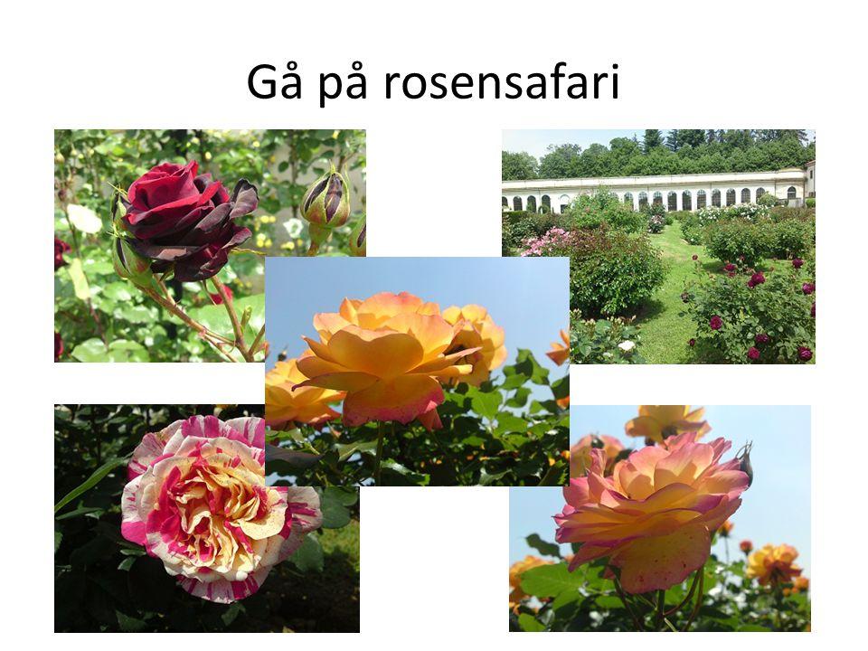Gå på rosensafari