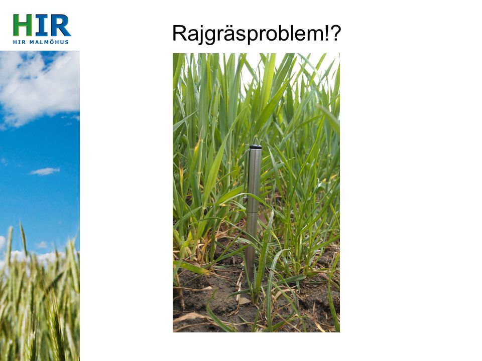 Rajgräsproblem!?