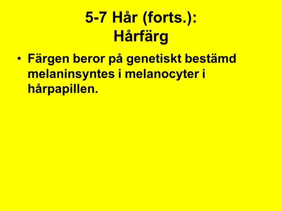 5-7 Hår (forts.): Hårfärg Färgen beror på genetiskt bestämd melaninsyntes i melanocyter i hårpapillen.