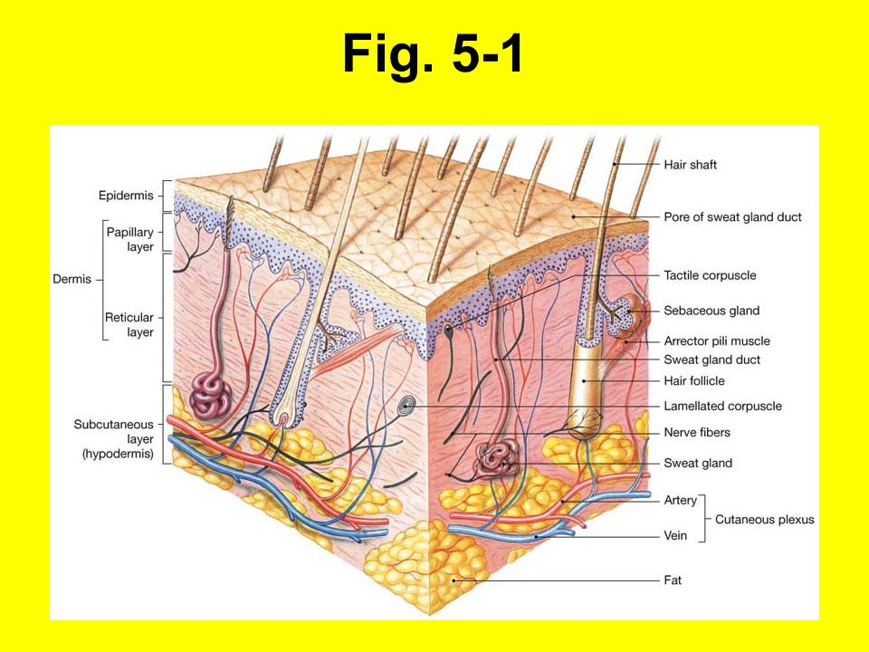 5-2 Hudfärgen bestäms av epidermal pigmentering (karoten och melanin) och hudcirkulation Karoten: Från morötter, ansamlas i str.