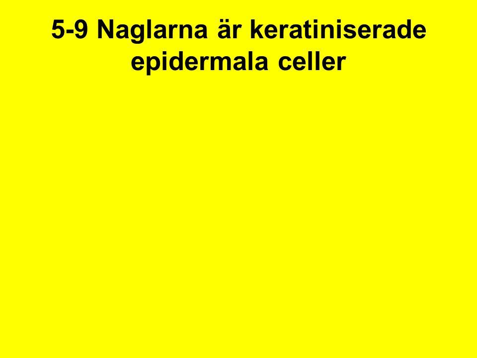 5-9 Naglarna är keratiniserade epidermala celler