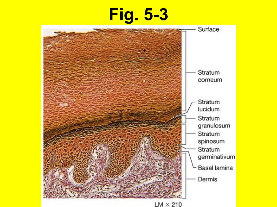 5-7 Hår (forts.): Hårtyper 1.Fr.o.m. fjärde embryonalmånaden: Lanugohår, stöts bort vid födelsen.