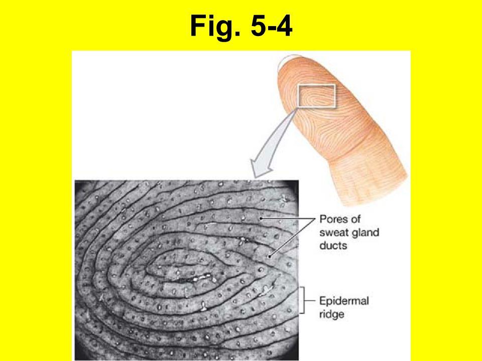 5-1 Epidermis (forts.): Stratum spinosum - taggcellskiktet Keratinocyter som skjuts upp från tillväxtlagret, vissa fortsätter att dela sig.
