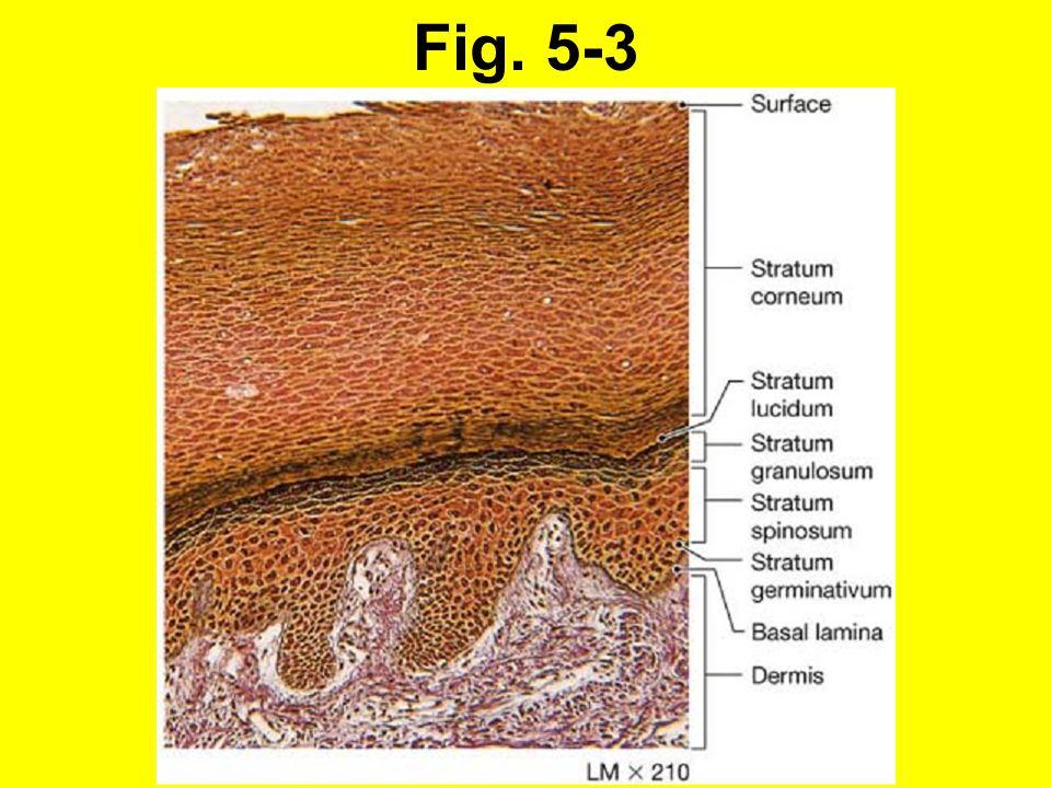 5-1 Epidermis (forts.): Stratum granulosum - kornskiktet Keratinocyter som förflyttats från stratum spinosum.