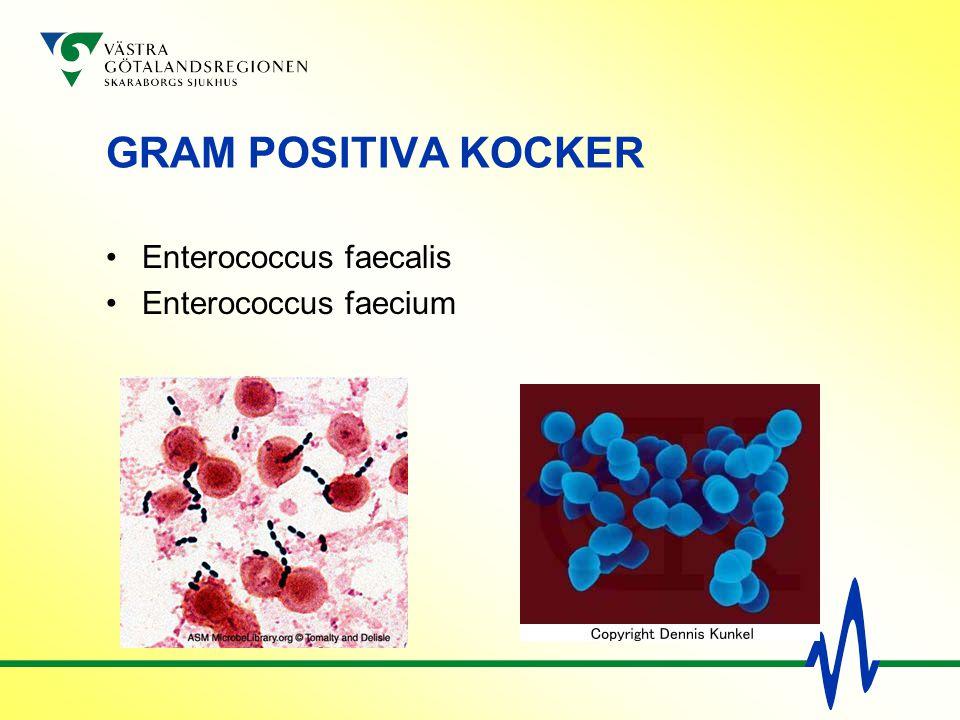 GRAM POSITIVA KOCKER Enterococcus faecalis Enterococcus faecium