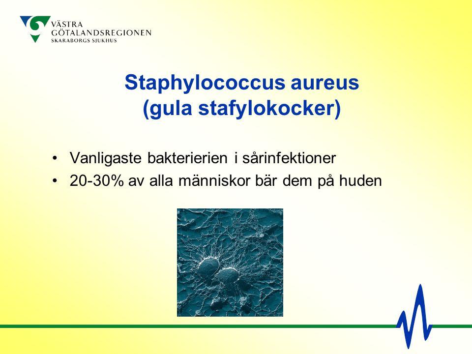 Staphylococcus aureus (gula stafylokocker) Vanligaste bakterierien i sårinfektioner 20-30% av alla människor bär dem på huden