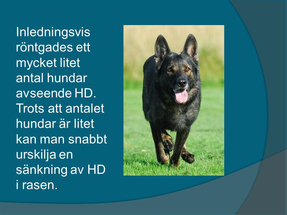 Inledningsvis röntgades ett mycket litet antal hundar avseende HD. Trots att antalet hundar är litet kan man snabbt urskilja en sänkning av HD i rasen