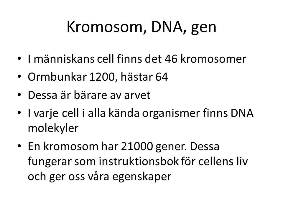 Kromosom, DNA, gen I människans cell finns det 46 kromosomer Ormbunkar 1200, hästar 64 Dessa är bärare av arvet I varje cell i alla kända organismer f