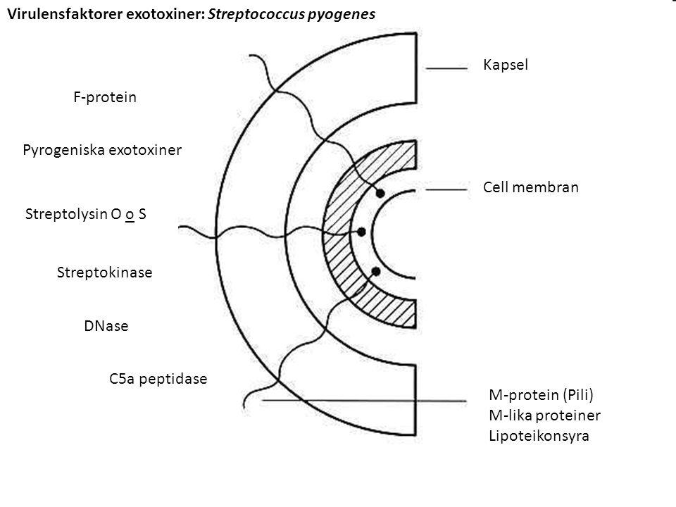 DNase Kapsel Cell membran M-protein (Pili) M-lika proteiner Lipoteikonsyra Streptolysin O o S Streptokinase DNase C5a peptidase F-protein Pyrogeniska