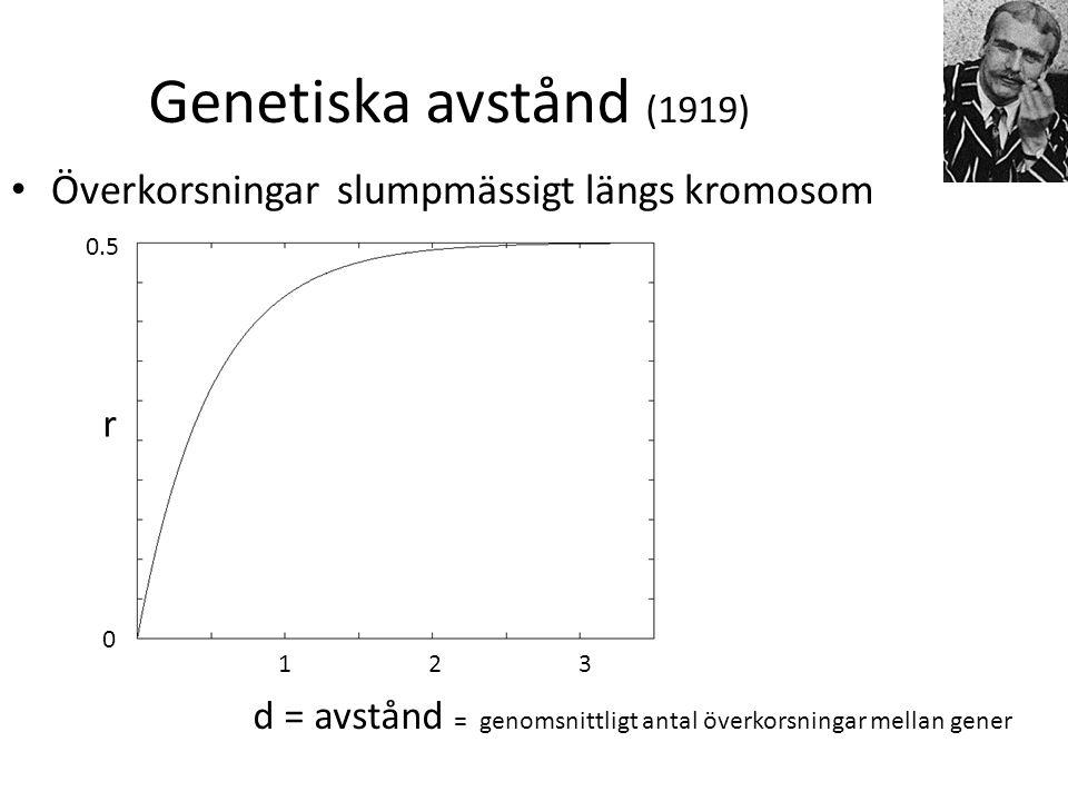 Genetiska avstånd (1919) Överkorsningar slumpmässigt längs kromosom d = avstånd = genomsnittligt antal överkorsningar mellan gener 123 0 0.5 r