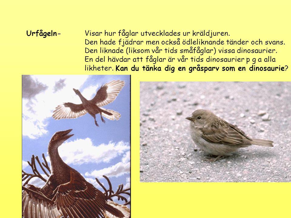 Urfågeln-Visar hur fåglar utvecklades ur kräldjuren. Den hade fjädrar men också ödleliknande tänder och svans. Den liknade (liksom vår tids småfåglar)