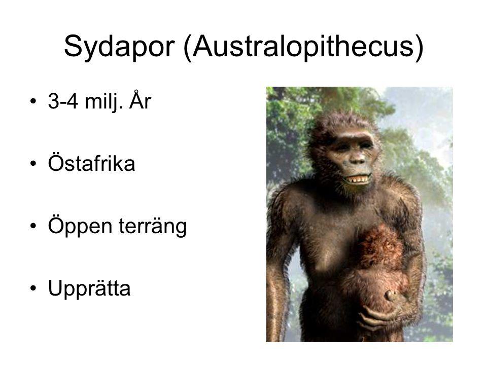 Sydapor (Australopithecus) 3-4 milj. År Östafrika Öppen terräng Upprätta