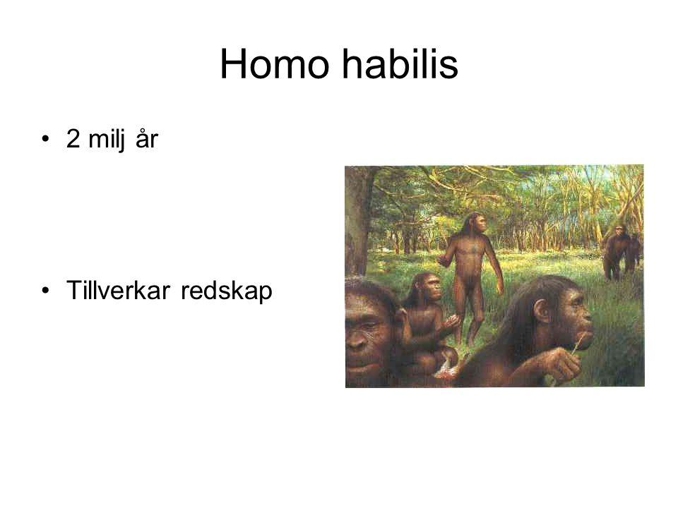 Homo habilis 2 milj år Tillverkar redskap