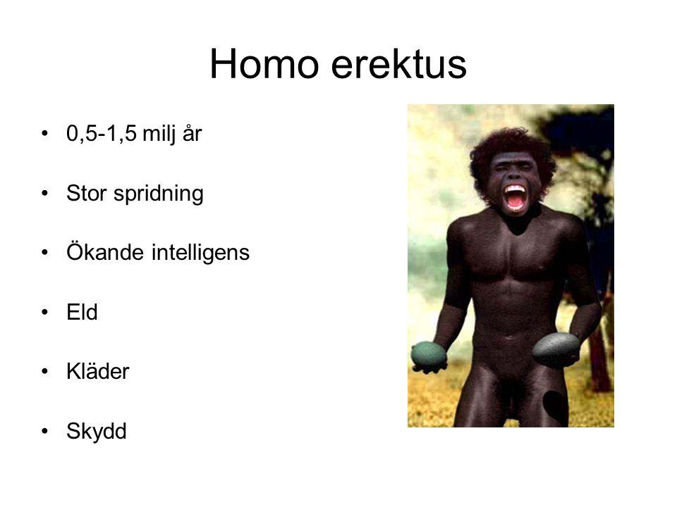Homo erektus 0,5-1,5 milj år Stor spridning Ökande intelligens Eld Kläder Skydd