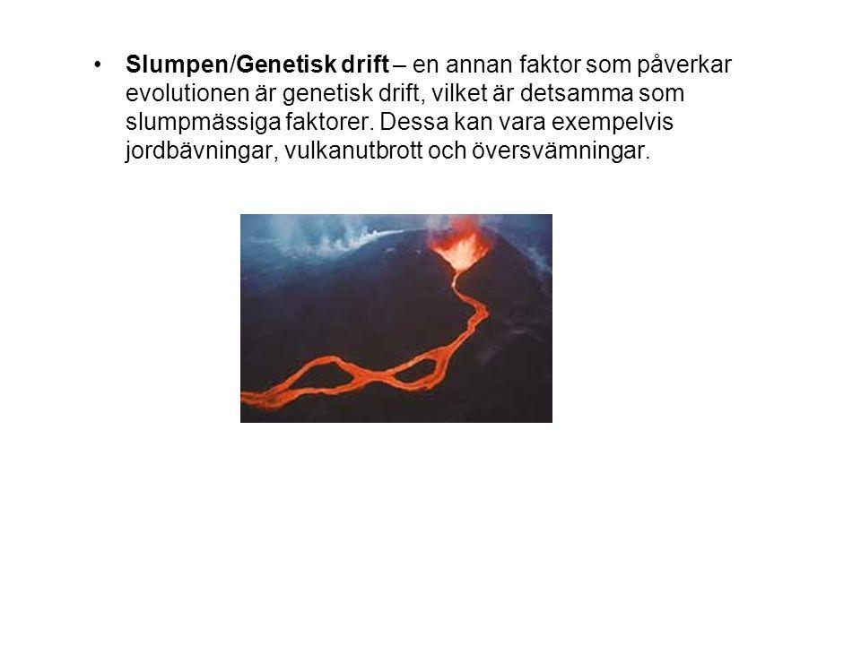 Slumpen/Genetisk drift – en annan faktor som påverkar evolutionen är genetisk drift, vilket är detsamma som slumpmässiga faktorer. Dessa kan vara exem