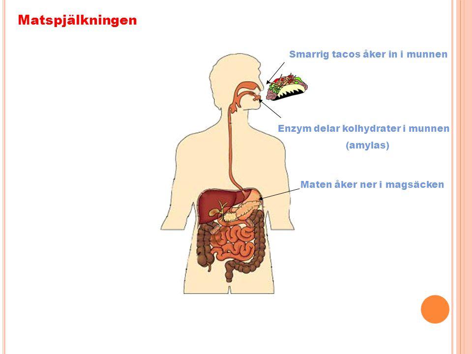 Matspjälkningen Smarrig tacos åker in i munnen Enzym delar kolhydrater i munnen (amylas) Maten åker ner i magsäcken