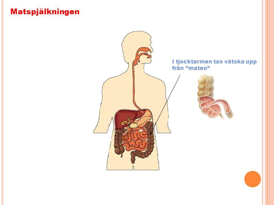 Matspjälkningen I tjocktarmen tas vätska upp från maten