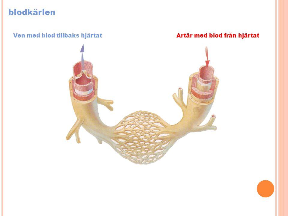 blodkärlen Artär med blod från hjärtatVen med blod tillbaks hjärtat