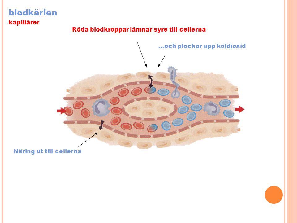 blodkärlen kapillärer Näring ut till cellerna Röda blodkroppar lämnar syre till cellerna …och plockar upp koldioxid