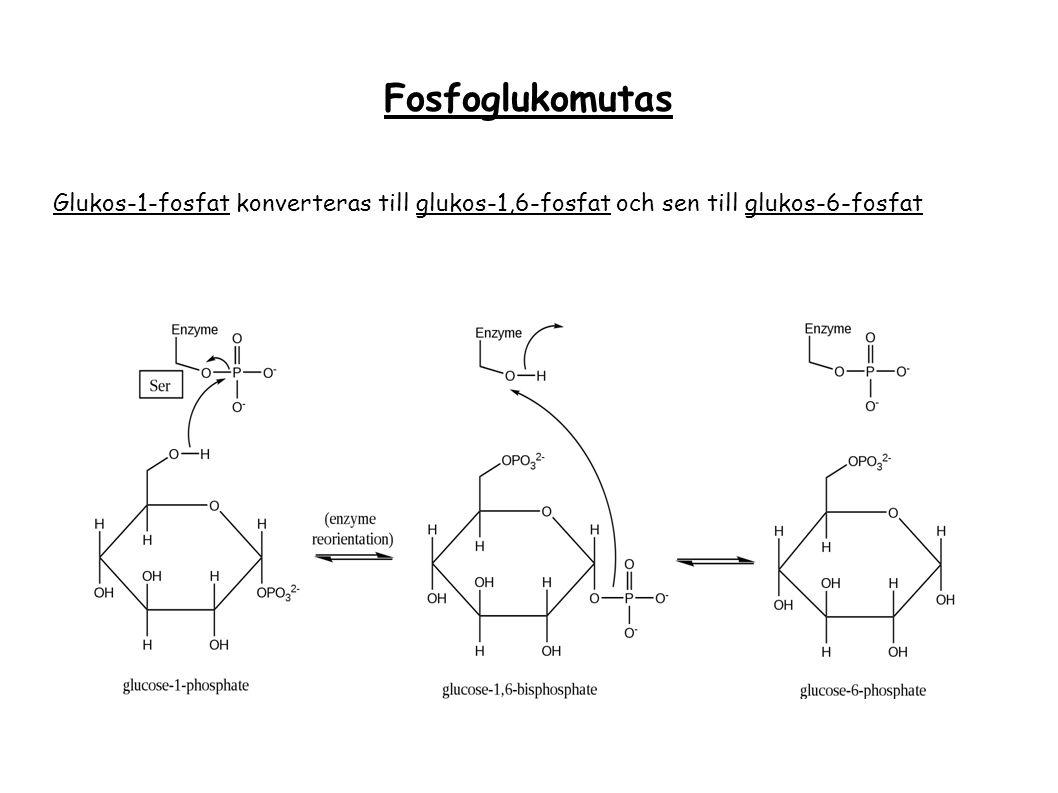 Fosfoglukomutas Glukos-1-fosfat konverteras till glukos-1,6-fosfat och sen till glukos-6-fosfat