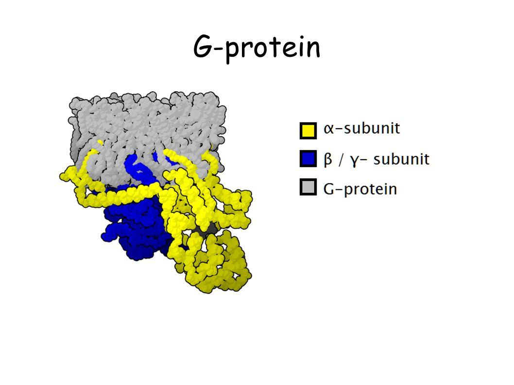 G-protein