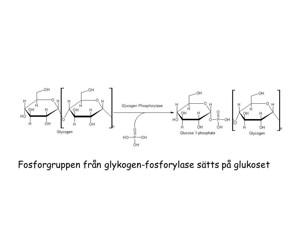 Fosforgruppen från glykogen-fosforylase sätts på glukoset