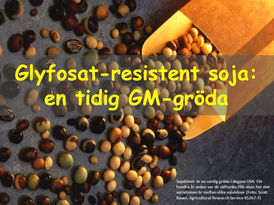Glyfosat-resistent soja: en tidig GM-gröda Sojabönor är en vanlig gröda i dagens USA. För hundra år sedan var de sällsynta. Här visas hur stor variati